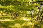 picture of canopy roof  - Scenic inside a old vineyard - JPG