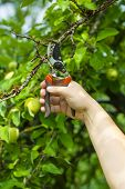 Hand with gardening shears near withered apple tree branch