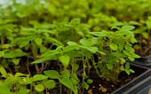 stock photo of salvia  - Chia plant seedlings to grow chia seeds Salvia hispanica - JPG