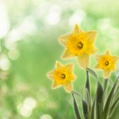 image of narcissi  - Greeting card with a bouquet of daffodils on the abstract background with bokeh effect - JPG