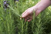 pic of pick up  - Woman picking fresh rosemary on the garden close up - JPG