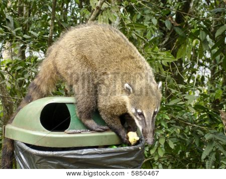Racoon on a garbage can