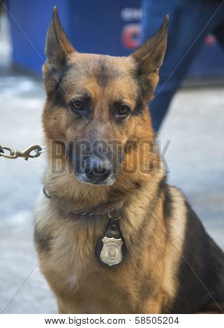 NYPD transit bureau K-9 German Shepherd providing security on Broadway during Super Bowl XLVIII