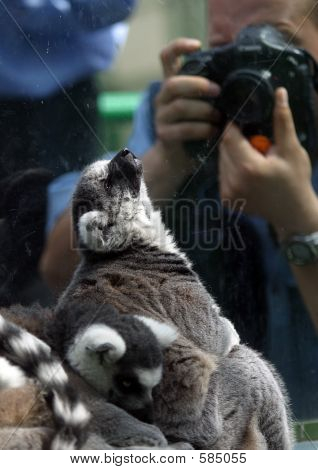 Lemur And The Photographer