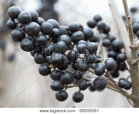 Berries From Wild Privet, Ligustrum Vulgare.