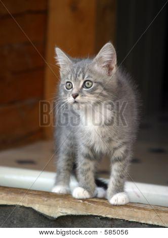 Attentive Kitten