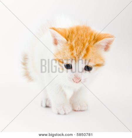 Kitten on the white