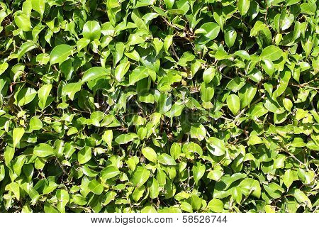 Green Boxwood Hedge Background