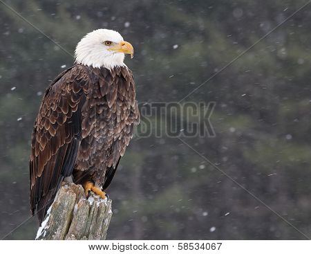 Eagle on a Post