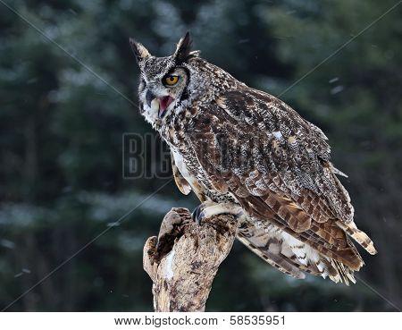 Speaking Great Horned Owl