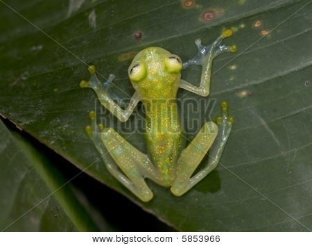 costa rican reticulated Glass Frog