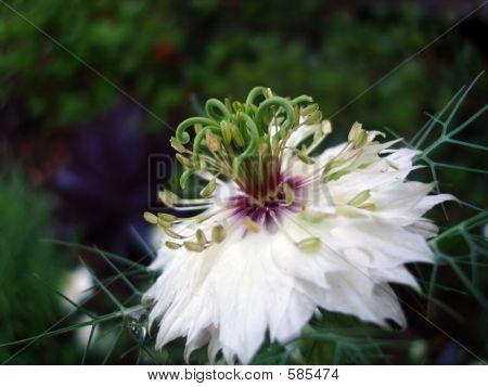 Nigella Bloom Close