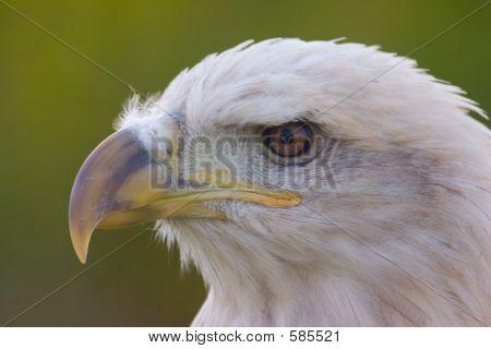 amerikanischen Weißkopfseeadler Haliaeetus leucocephalus