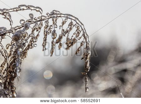 Macro Photo Of Frozen Meadow Flowers Engulfed In Ice