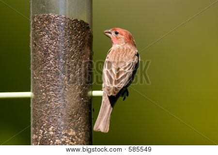 House Finch On Thistle Seed Bird Feeder