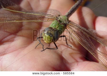 Dragonfly In Hand