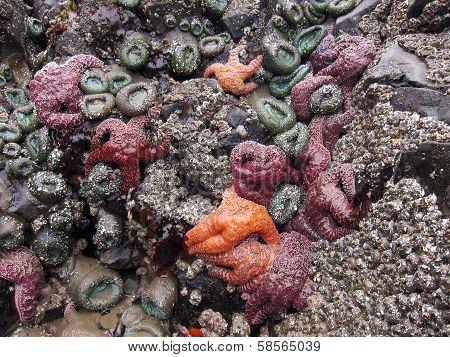 Starfish and sea anemone on tidepool rock