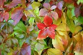 foto of creeper  - Multicolored background of virginia creeper leaves  - JPG