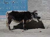 picture of cattle breeding  - Little cow - JPG