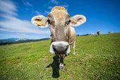 foto of italian alps  - Italian cow grazing in an alpine meadow mountains in the background - JPG