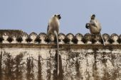 stock photo of rabies  - Hanuman langur (Semnopithecus entellus) monkeys living freely in an abandoned complex of Amber Fort Rajasthan 