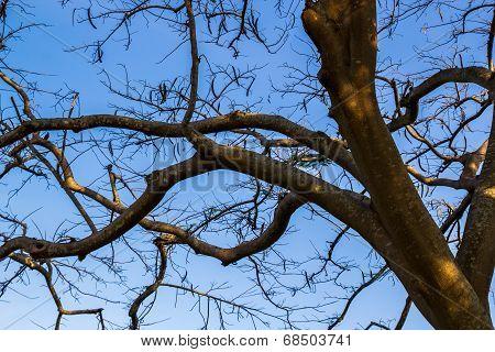 Dry Wood Tree