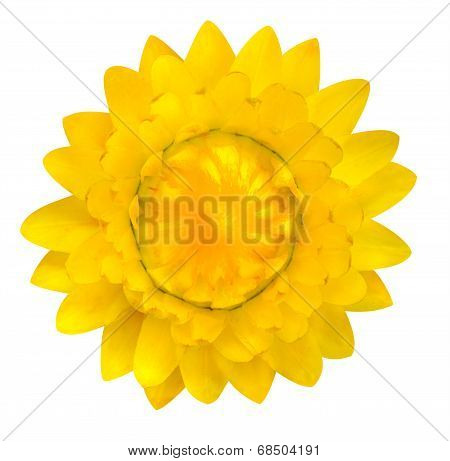 Yellow Strawflower, Helichrysum Bracteatum Isolated On White