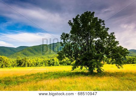 Tree In A Field At Cade's Cove, Great Smoky Mountains National Park, Tennessee.