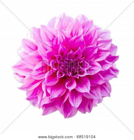 Dahlia or Dalia Flower at The Royal Agricultural Station Inthanon