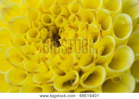 Yellow Dahlia Hybrid Beautiful Flower