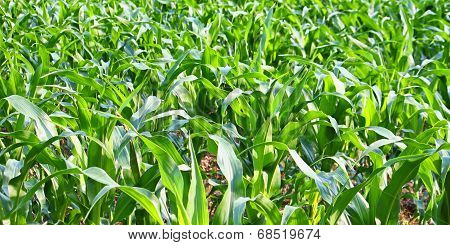 Panoramic Cornfield Background