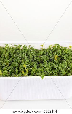 Fresh garden cress in white plastic box close-up isolated on white