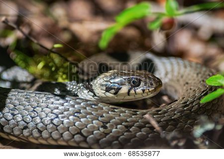 Grass Snake Or Natrix Natrix On Forest Floor
