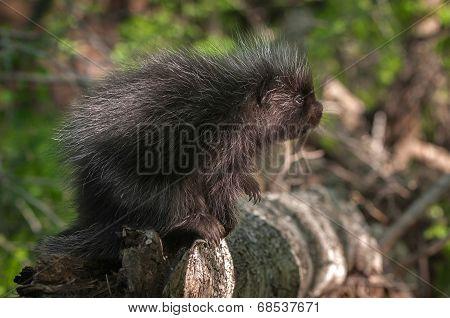 Baby Porcupine (Erethizon dorsatum) Looks Up