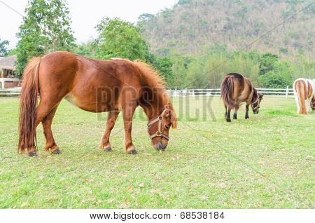 Dwarf Horses Eating Grass
