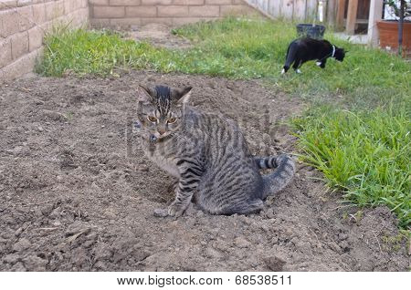 Gray Tabby Cat Peeing On Ground In Backyard