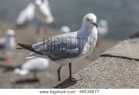 Seagull with only one foot