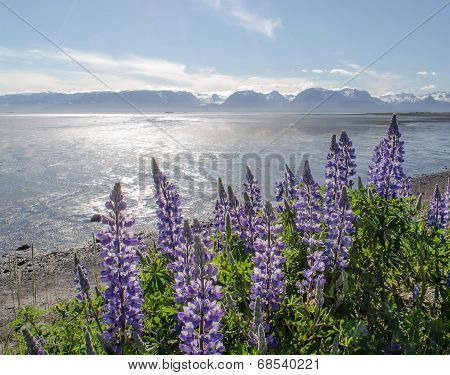 Lupines On Kachemak Bay 2