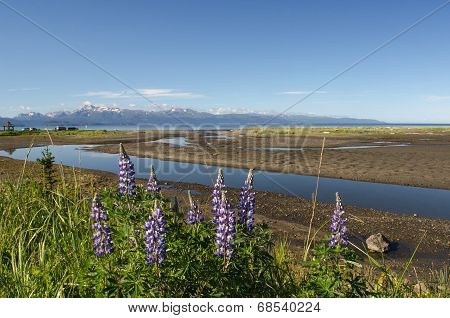 Lupines On Kachemak Bay 3