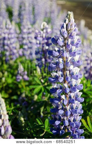 Lupines On Kachemak Bay 7