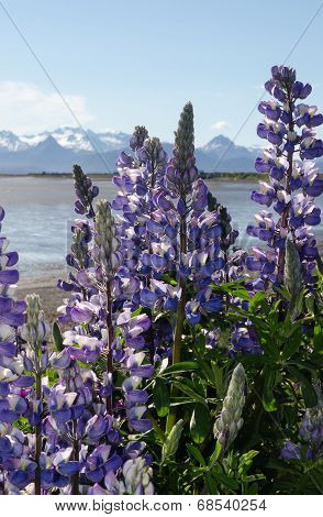 Lupines On Kachemak Bay 8