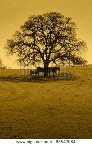 Silhouette Of Oak Trees And Horses