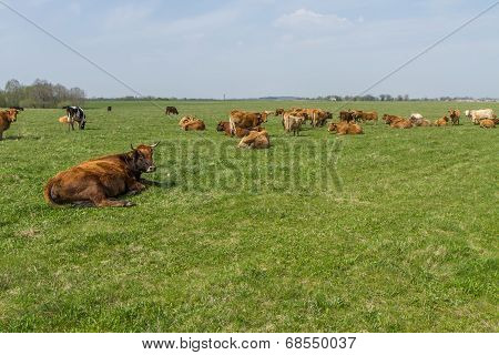 Cattle Graze