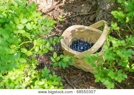 Picking Berries In The Forest On Sunny Summer Day.