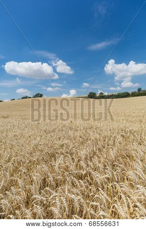 Agriculture Field With Cereal Plants