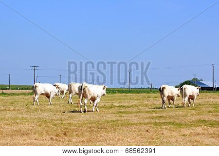 Herd of cows of back, countryside  of perches  France
