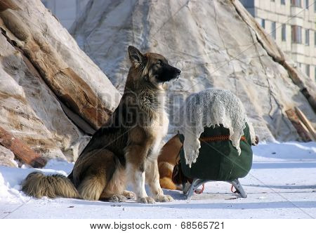 Russia, Nadym. The Dog Is Guarding The Bag Lying On The Sledge.