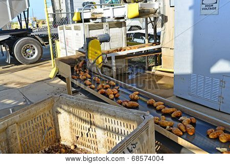 Potatoes on Conveyor Belt