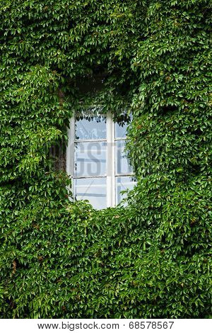 Window And Wall Covered With Ivy