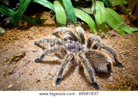 Tarantula Large Spider
